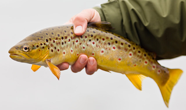 loch eye brown trout